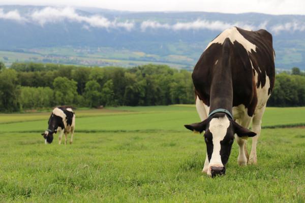 Holstein_Weide